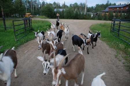 Mamie Junior and her goats